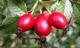 Шиповник плоды №25пак Здоровье через питание